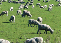 Sheep Tags